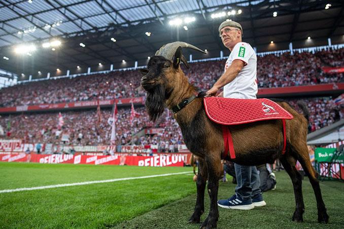 Hennes IX, la actual mascota del FC Colonia - Odio Eterno Al Fútbol Moderno