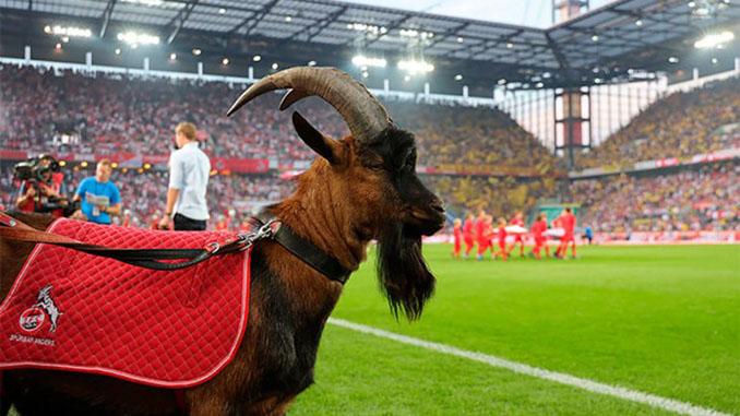 Hennes, la mascota del FC Colonia desde 1950 - Odio Eterno Al Fútbol Moderno
